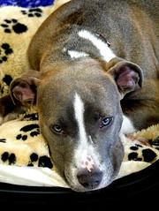 Hello dog - nice eyes (Carandoom) Tags: chien suisse eyes look animal pet