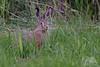 Hare (fascinationwildlife) Tags: animal mammal wild wildlife nature natur europe european hare hase feldhase grass field summer north nordfriesland germany deutschland dusk alert