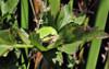 One eye out (TJ Gehling) Tags: amphibian frog chorusfrog treefrog pacificchorusfrog pacifictreefrog pseudacris pseudacrisregilla pond canypntrailpark elcerrito