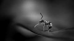 Never look back (Jean-Luc Peluchon) Tags: fourmi ant macro fz1000 lumix nb bw noir blanc blackandwhite black insecte insect wild faune wildlife