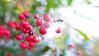 Berries (Yen-Rong) Tags: berry berries red nature yunling taiwan hehuanshan plants tree fruits sun shine winter