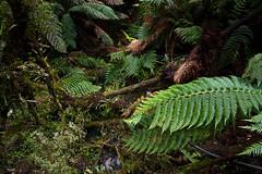 Ferns (ashleighlee618) Tags: australia ferns forest