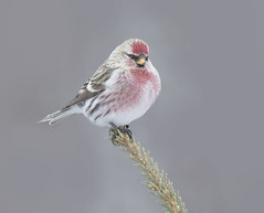 Common Redpoll m (sspike@rogers.com) Tags: redpoll finch north winter steverossi nature wildlife ontario borealforest spruce