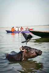 A normal day in Varanasi (MarcoPro1) Tags: travel traveling animal bird cow inda varanasi gange river wildlife