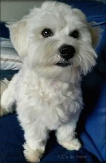 Alfie  .. Sitting Pretty � #zuchon #puppy #dog #fluffy #beautiful #jennyparry #cute
