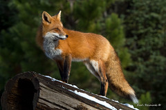 On the lookout (Earl Reinink) Tags: animal wild winter snow fox redfox earl reinink earlreinink outside cold fur nikon pose woods trees ioeueaaata