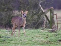 Roe Deer (Alan McCluskie) Tags: deer roedeer mammal ukmammals wildlife animal nature canon7dmk2 sigma150600mmsp