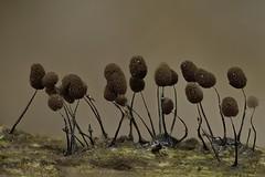 Myxomycetes Stemonitidaceae (Comatricha sp. ?), Saint-Lézer. (G. Pottier) Tags: myxomycète myxomycetes stemonitidaceae stemonitidales afnikkor28mmf28d reverselens kenkoautomaticextensiontubesetdg macro macrophotography slimemold