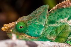 Madagascar-2785-_DSC2363-2 (beppevig) Tags: madagascar africa animali animals wild chameleon camaleonte animale