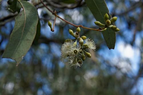 Eucalyptus crebra 140417-1828