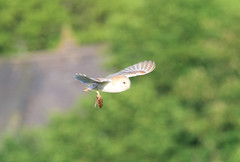 Barn Owl 4th June 17 (Terry Angus) Tags: barn owl barnowl predator uk prey vole