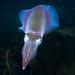 Southern Calamari Squid – Sepioteuthis australis #marineexplorer