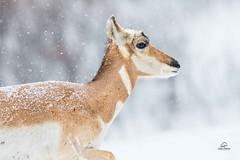 Dashing Through the Snow . . . the Female Pronghorn (Glatz Nature Photography) Tags: wildanimal wildlife glatznaturephotography nature nikond850 blackhills southdakota winter snow pronghorn antilocapraamericana