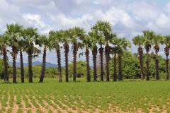 Plantation (MYANMAR) (ID Hearn Mackinnon) Tags: myanmar burma burmese south east asia asian central 2017 plantation palm trees agriculture farm farming farmland growing