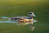"The Hen Widgeon (jimgspokane) Tags: cannonhillpark birds widgeons ducks wildlife ponds otw ""nikonflickraward"""