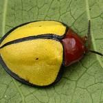 Tortoise beetle, Paraselenis marginipennis, Cassidinae thumbnail