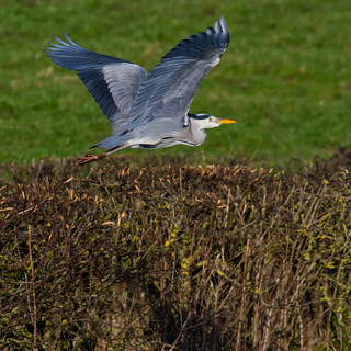 Grey Heron flight ~ Explored