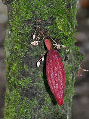 Belmopan - Young Cocoa Fruits (Drriss & Marrionn) Tags: travel centralamerica belize belmopan sthermansblueholenationalpark wood park forest vegetation bluehole jungle rainforest tropicalenvironment cayo cayodistrict nationalpark tropical plants plantae cacao cocoa macro tree fruit fruits beans taxonomy:binomial=theobromacacao taxonomy:genus=theobroma taxonomy:species=cacao taxonomy:tribe=theobromateae taxonomy:subfamily=byttnerioideae taxonomy:family=malvaceae taxonomy:order=malvales taxonomy:superorder=rosanae taxonomy:subclass=magnoliidae taxonomy:class=spermatopsida taxonomy:phylum=tracheophyta
