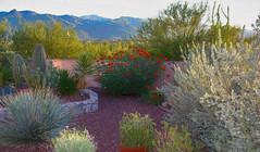 Tucson Garden Digital Painting (randyherring) Tags: az arizona tucson us bloom cactus color desertplants flowers hotel mountains trees
