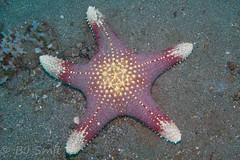 Big starfish (BJSmit) Tags: 2012 indonesie echinoderm starfish pentacerastertuberculatus pentaceraster tuberculatus