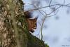 Ecureuil roux (Philippe Renauld) Tags: ecureuil roux arbre domainedesoiseaux calmont occitanie france fr