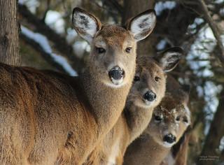 Cerfs de Virginie - Virginia Deers
