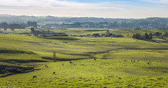 A Long View in the Late Afternoon (allentimothy1947) Tags: california dairyfarm sonomacounty agriculture blue cows grass green land landscape lynchroad meadow pasture rural sky trees dairy afternoon cow shadow light sun