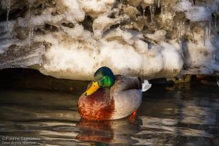 Canard colvert / Mallard Duck