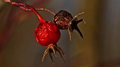 Last Year's Models (Bob's Digital Eye) Tags: bobsdigitaleye canon canonefs55250mmf456isstm decomposition depthoffield feb2018 flicker flickr macro plant red seedpods seedheads t3i