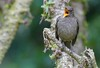 Mountain Thrush (Turdus plebejus) (Adam Dhalla) Tags: thrush bird costa rica san jose wild miriams quetzals savegre