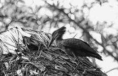 Busy On The Rooftop (AnyMotion) Tags: hammerkop hammerkopf scopusumbretta bird birds vogel vögel animal tier animals tiere bokeh 2015 anymotion arumeruriverlodge tanzania tansania africa afrika travel reisen wildlife nature natur 7d2 canoneos7dmarkii bw blackandwhite sw