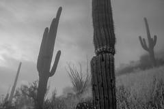 Tum014_small (patcaribou) Tags: tucson tumamochill sonorandesert fog cactii saguarocactus