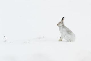 Mountain Hare - Attentive