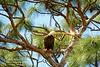 On guard (NancySmith133) Tags: americanbaldeagle greenwoodcemetery centralfloridausa breedingandnestingseason