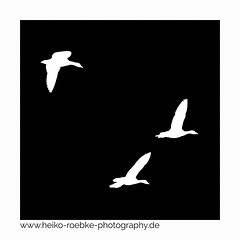silhouette II (H. Roebke (offline for a while)) Tags: 2018 minimalismus de minimalism gänse weiss abstrakt bird germany schwarzweiss schwarz goose blackwhite abstract vogel