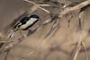 White-naped Tit | Machlolophus nuchalis (Paul B Jones) Tags: india whitenapedtit machlolophusnuchalis whitewingedtit endemic vulnerable iucn redlist thornscrub forest infinityresorts rannofkutch bhuj gujarat canoneos5dmarkiv ef800mmf56lisusm nature wildlife चिड़िया conservation indiya इंडिया inde indien indië asia asian tourist tourism travel ecotourism indian