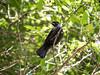 Taken at Zealandia (hmxhm) Tags: aotearoa nature wellington zealandia tui bird newzealand wildlife