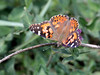 Painted Lady Butterfly (Vanessa cardul); Santa Fe National Forest, NM, Thompson Ridge [Lou Feltz] (deserttoad) Tags: nature forest nationalforest flower clover mountain bloom flora plant wildflower insect behavior butterfly newmexico orange