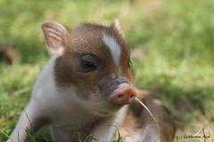 Porcelet nain (Passion Animaux & Photos) Tags: porcelet nain pygmy piglet sus scrofa domesticus parc animalier saintecroix france