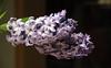 Hyacinthus (jopol@pt.lu) Tags: hyacinthus flower fleur nahaufnahme