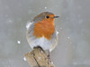 Winter Warmer (KHR Images) Tags: robin erithacusrubecula snow snowing winter beastfromtheeast barnwell northamptonshire wildlife nature nikon d500 kevinrobson khrimages
