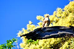 Sitting Pretty (Tripawd) Tags: bird birdofprey redtailedhawk coyotehills ebparksok