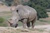 Southern White Rhino (ToddLahman) Tags: southernwhiterhino rhino kilimapoint sandiegozoosafaripark safaripark canon7dmkii canon canon100400 closeup mammal outdoors beautiful escondido eyelock