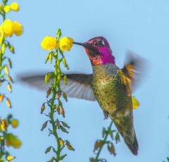 Year around. (Omygodtom) Tags: wild wildlife bird annashummingbird abstract art red yahoo yellow 7dwf ngc nature natural flower flickr nikon dof d7100 diamond blue nikon70300mmvrlens