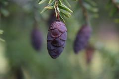 Nature🌲🌿🍃 (Zac Goldberg) Tags: pinecone leaf evergreen trees plants