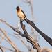 Exclamatory Paradise Whydah (terrylaws526) Tags: birds exclamatoryparadisewhydah ghana2017 wildlife