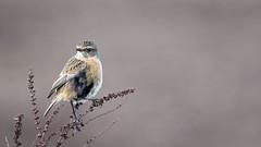 STONECHAT (Neil Shaw Images) Tags: