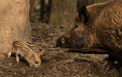 Little piggies (zimbart) Tags: europe belgium domainofthecavesofhan fauna mammals vertebrata artiodactyla suidae sus susscrofa wildboar