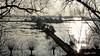 View on the river Rhine and the flood plains. A week ago. (Cajaflez) Tags: knotwilgen bomen trees dike dijk uiterwaarden floodplains water wageningen derijn rhine river rivier