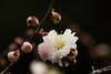 絞り咲き (qrsk) Tags: japaneseapricot flower blossom 梅 ウメ plants winter earlyspring 殿ヶ谷戸庭園 オモイノママ